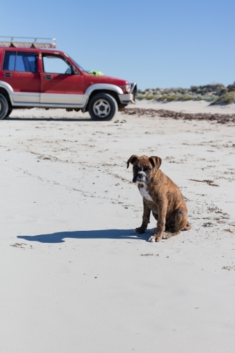 Male Boxer puppy on the beach with a 4WD in the background