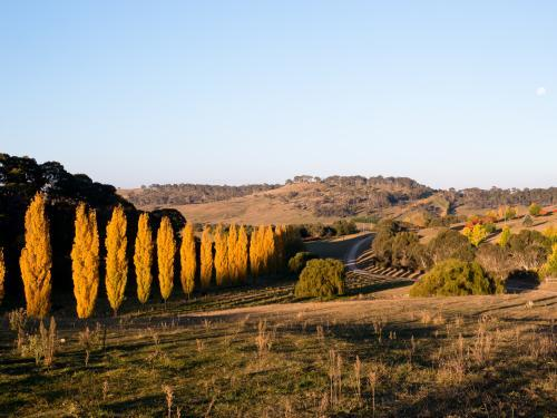 Line of golden poplar trees Armidale NSW