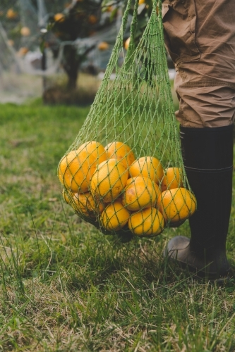 Man carries bag of fresh fruit harvested from tree on citrus farm