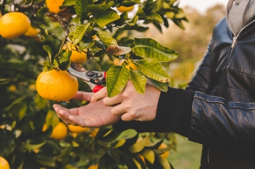 Man cuts off orange citrus with secateurs from fruit tree on rural farm in morning