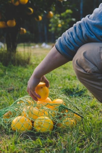 Man picks fresh fruit on citrus farm and collects in green net bag