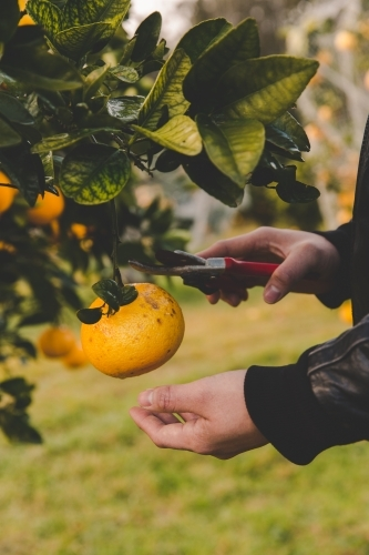 Man reaches to cut orange citrus with secateurs from fruit tree on rural farm in morning