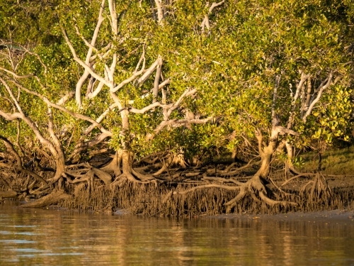 Mangrove trees at the edge of a tidal river