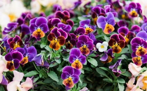 Many purple pansies in flower bed