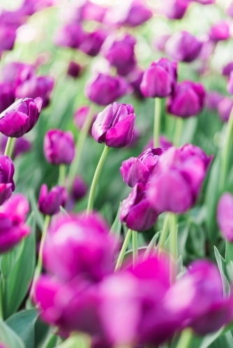 Many purple tulips in garden flowerbed