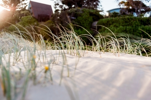 Marram grass in soft sand dunes being warmed by the sun with beach houses blurred in the background