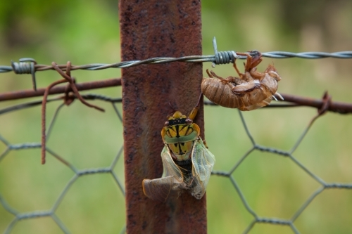 Masked Devil Cicada emerging from shell on barbed-wire fence