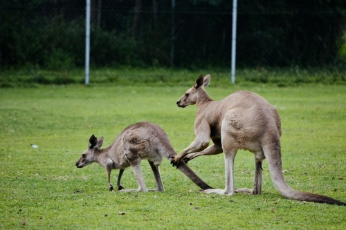 large male kangaroo courting a small female