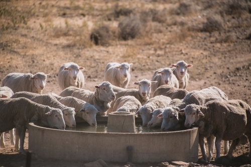 Merino ewes drinking at a trough