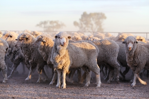 Merino sheep at first light