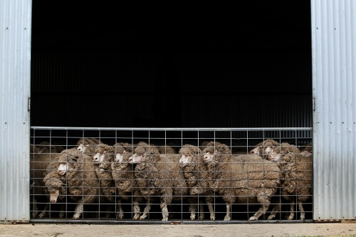 Merino sheep in a shed
