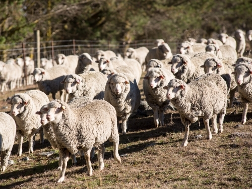 Merino sheep walking towards camera