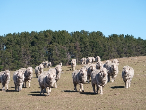 Merino sheep walking towards the camera across a bare paddock