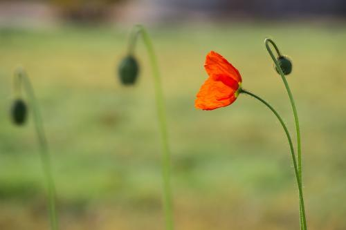 A single red poppy in a flowerbed