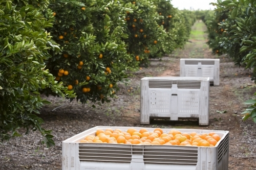 Navel oranges with bins and trees in background