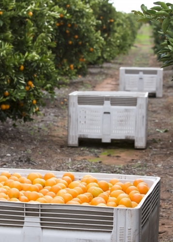 Navel oranges in foreground with bins and trees in background