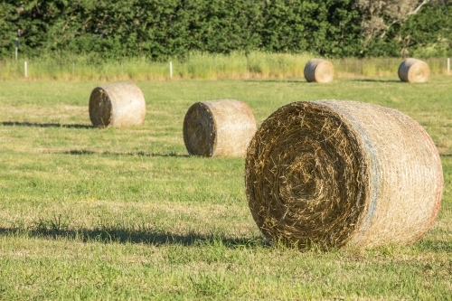 Round hay bales sitting in a green paddock