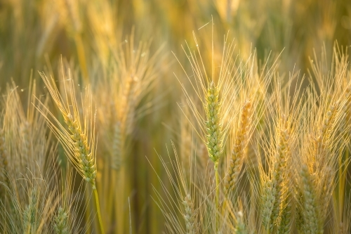Close up of wheat crops growing in a paddock