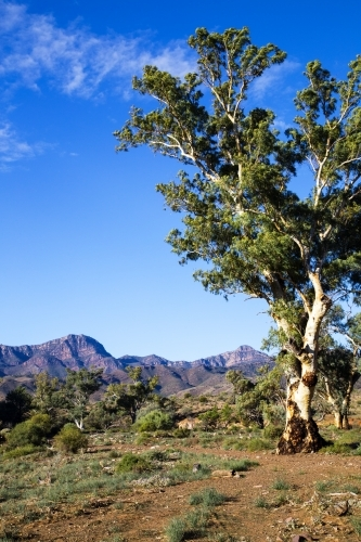 Single gum tree with ranges in background, vertical