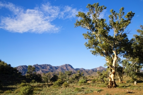 Single gum tree with ranges in background