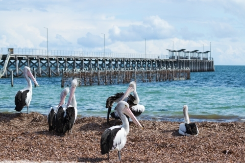 Pelicans on beach with jetty in the background
