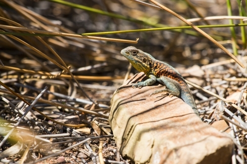 Colourful lizard on a rock