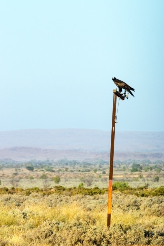 Wedge tail eagle perched on a pole