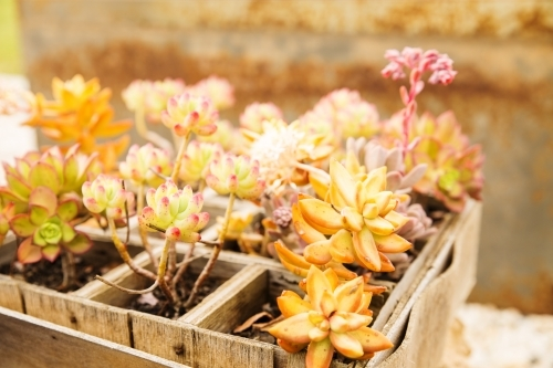 Box of colourful succulents side on