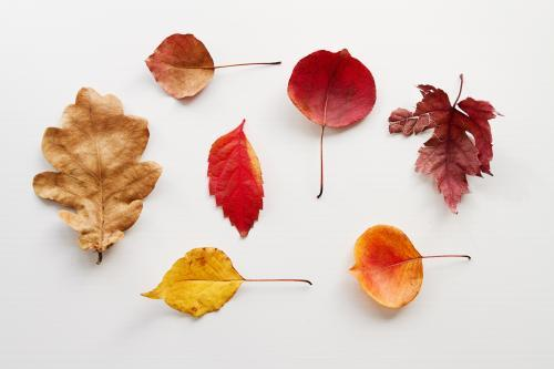 Collection of different shaped autumn leaves on white