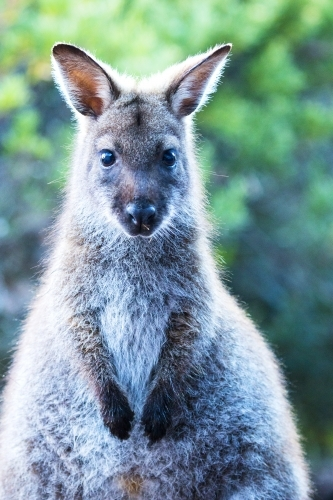 Wallaby head and front paws facing camera