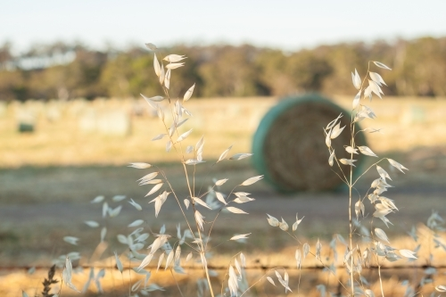 Dried wild oats, outside a fenced paddock containing baled hay