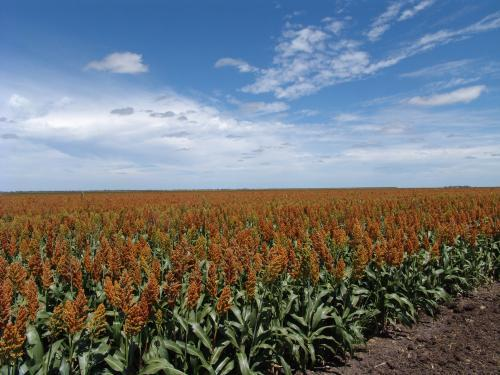 Sorghum crop in a paddock