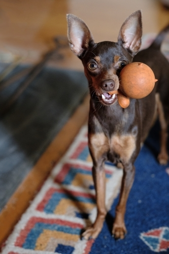 Miniature pinscher dog with toy in it's mouth