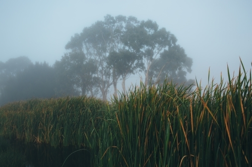 Mist morning beside a river with calm water, reeds and trees