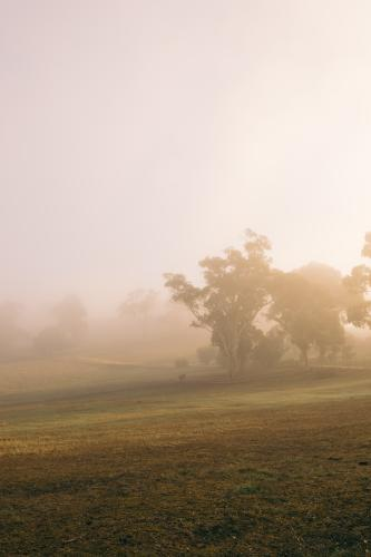 Misty eerie fog on a rural farm, with gum trees in the distance