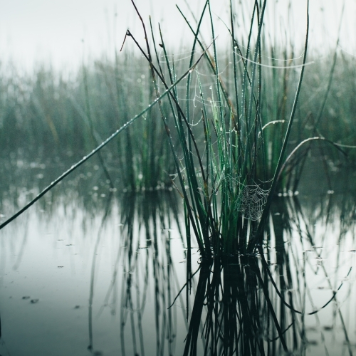 Misty morning beside a river with calm water, reeds and spider webs
