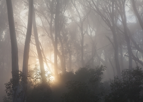 Misty sunrise through forest trees