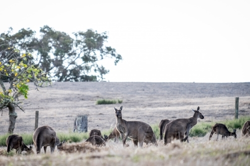 Mob of Kangaroos feeding in a open field in the afternoon light
