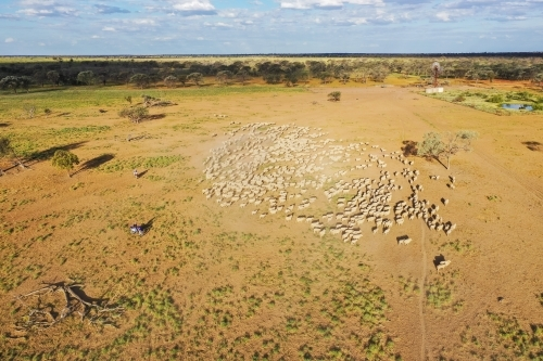 Mob of merino sheep in a circle in paddock