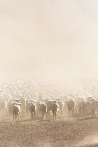 Mob of sheep in dust from behind