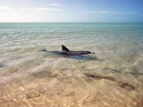 Lone dolphin swimming in remote bay