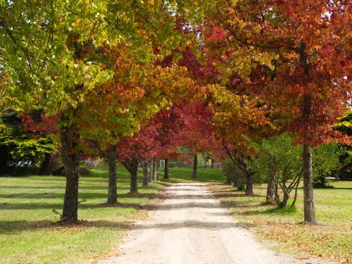 Avenue of trees with autumn leaves