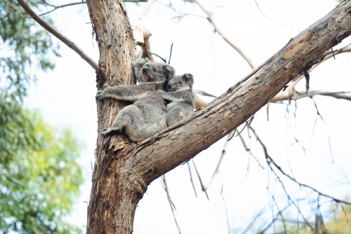 Mother and sleeping baby koala in eucalyptus tree