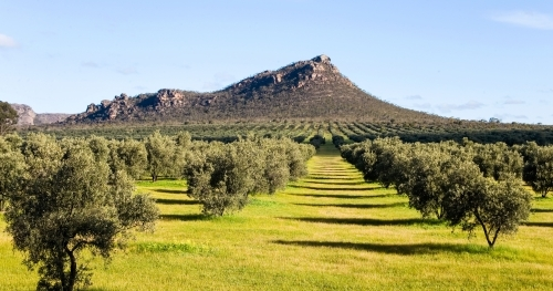 Olive grove with mountain in background