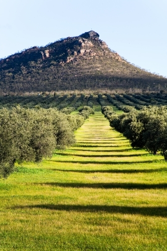 Olive grove with mountain in the background