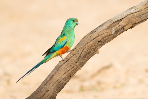 Mulga Parrot perched on a branch