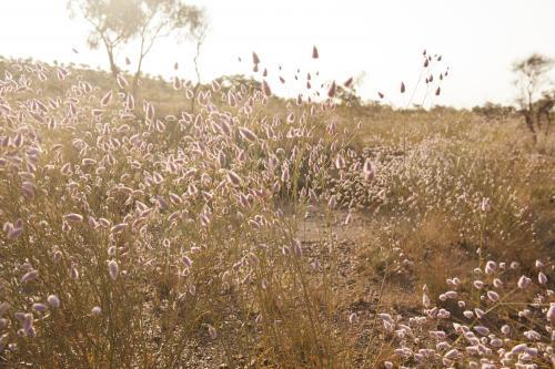 Mulla mulla wildflowers in bushland