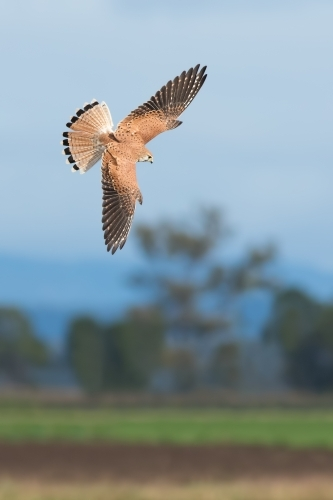 Nankeen Kestrel in flight
