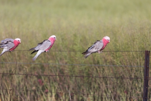 Native Australian bird (Galah) sitting on a fence in front of a canola crop on a farm