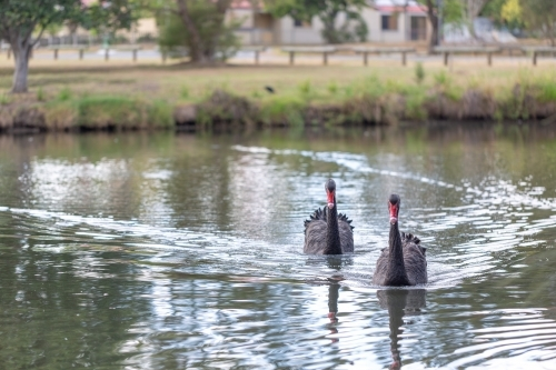 Native bird black swan pair